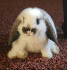 such a sweet bunny. Baby Holland Lop Bunny is so adorable. Cute Baby Bunnies, Cute Baby Animals, Cute Babies, Funny Animals, Tiny Bunny, Cutest Bunnies, Animal Babies, Funny Dogs, Cute Bunny Pictures