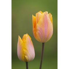 I have just purchased Tulip 'Jenny' from Sarah Raven - https://www.sarahraven.com/flowers/bulbs/tulips/tulip_jenny.htm