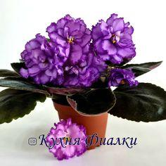 AV-Lavandovye Rozy / АВ-Лавандовые Розы • A. Tarasov • 2019 • Standard • Chameleon flower. Double lavender stars with raspberry-rimmed dusting. Blooming bluer, with age becoming more pink. Black-green, serrated, spoon-shaped leaves. Russian #AVLavandovyeRozy #TarasovViolets #RussianViolet#AVSA #AfricanVioletSocietyOfAmerica #AfricanViolet #IndoorPlant #Houseplant #saintpaulia #senpolia #AfricanVioletLovers #fialka #flowers #bloom #blooms #fialki #flowerpower #AfricanVioletLovers  Easy House Plants, Saintpaulia, Houseplants, Indoor Plants, Flower Power, Raspberry, Bloom, Rose, Flowers