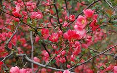 21 best plants and flowers for winter garden colour (japanese quince pictured)