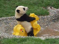 Grappige panda heeft plezier op wipkip