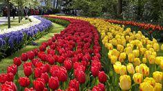 - O maior parque de flores do mundo, em Lisse, fará este ano uma homenagem à época dourada holandesa com um mosaico de 7 milhões de flores numa área de 32 hectares. Foto: EFE