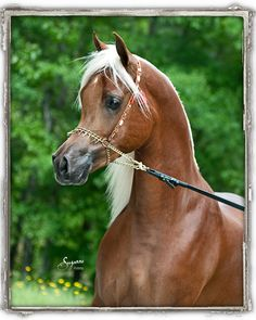 Thee Asil son chestnut Egyptian Arabian stallion from Arabians Ltd.