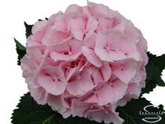 """Cut hydrangea flower """"Verena"""" (Pink)"""