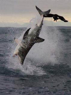 Spectacular Shark Breaching