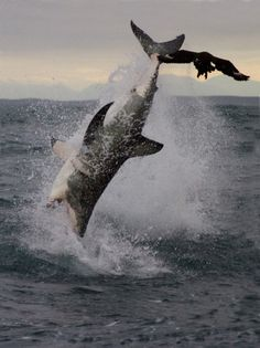 Spectacular Shark Breaching
