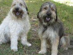 Raza Gos d'Atura. Fotos de perros Gos d'Atura Evie, Animals, Image, Frases, Cattle Dogs, Dog Breeds, Cute Dogs, Animal Kingdom, Adorable Animals