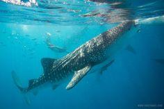 Whalesharks of Oslob, Cebu   Photos by Two2Travel.com