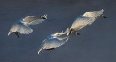 swans in motion - Google Search