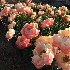 Peonies at Floret Flower Farm (via their Instagram feed).