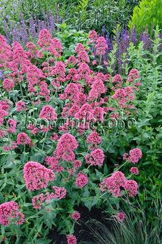 Achillea yarrow plants produce clusters of tiny long blooming centranthus jupiters beard or red valerian well known in utah but for different mightylinksfo