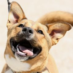 Shunka is an energetic Labrador Retriever Mix up for adoption in Sheridan, WY! He is available through Sheridan Dog & Cat Shelter Inc.!