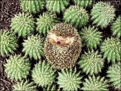 Camouflaged Hedgie!