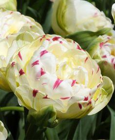 Tulipano Danceline :è formato da un fiore a forma di peonia, dai colori bianco-avorio con una luce rosa lampone e striature variabili ed all' esterno sfumature verdi.