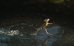 Stephen Dalton's photograph of a Basilisk lizard running across water at up to five miles per hourPicture: Stephen Dalton/Photoshot/Solent News