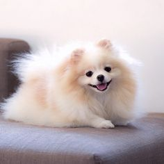 Amazing Pomeranian Shaved Source by ameersellers The post Pomeranian Puppy Names appeared first on Avery Dogs. Baby Animals, Funny Animals, Cute Animals, Cute Dogs And Puppies, Pet Dogs, Puppies Puppies, Fluffy Puppies, White Pomeranian Puppies, Teacup Pomeranian