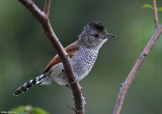 Rufous-winged Antshrike - (Thamnophilus torquatus) Bahia state, Brazil.