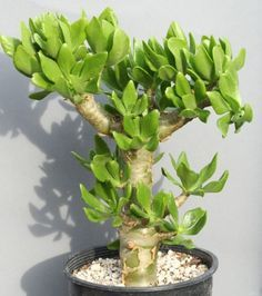 Tylecodon Paniculatus Butter Tree Bonsai Succulent 10 by Arvice30