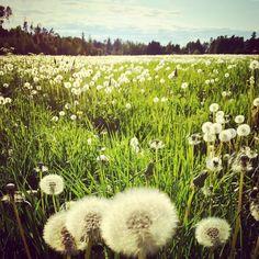 Olen oppinut rakastamaan voikukkia. Myös näitä palloja.  #villiyrtti #hortoilu #voikukka #voikukkameri #ristinummi #ristinummihoodz #pelto #rikkaruoho #ruoka #järvenpää #hyväjäke #futuremarja