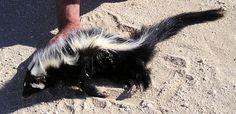 Striped Polecat (Ictonyx striatus)