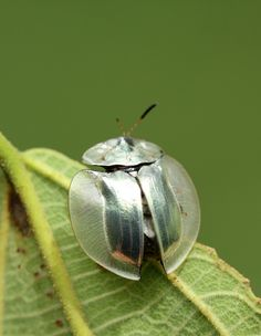 The beetles are not to be outdone with this amazing metallic tortoise beetle: