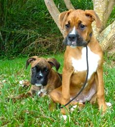 Adorable Boxer puppies in training with Balanced Obedience