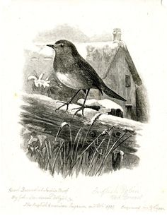 'English Robin' wood engraving (1925) by  John Sanderson Dalziel (1839-1937). Scottish wood engraver who lived in the United States.