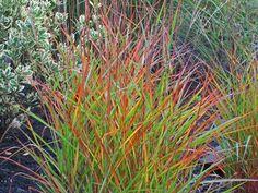 See ya ornamental grasses