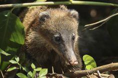 Nasenbär - Amboro Nationalpark Brown Bear, Animals, Santa Cruz, Bolivia, National Forest, Traveling, Art, Animaux, Animal