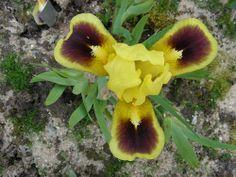 Iris: Jazzamatazz X Brighteyes - Flickr - Photo Sharing!