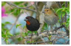 Meet Mr. and Mrs. Lesser Antillean Bullfinch, a handsome couple from Montserrat, enjoying the weekend outdoors, photographed by Alistair Homer.