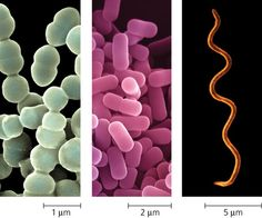 Bacteria types and sizes more
