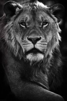 Lion Print  Wild Animals  Photo Art Prints  by WildnisPhotography..Great B & W Lion!