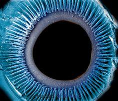 Al microscopio visión del iris, pupila y ciliares. VisualsUnlimited