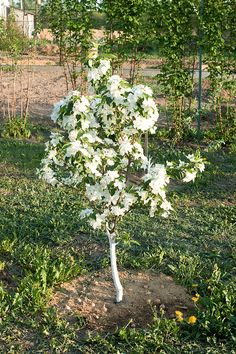 Before you buy and plant an apple tree consider the following: ■ Space to grow and form of tree. How much space do you have? This will determine the form o