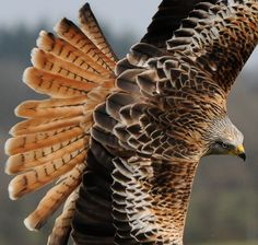 Red Kite (hawk)
