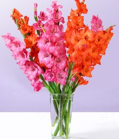 Orange and Pink gladiolus