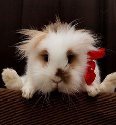 Lion Head Rabbit - adorable
