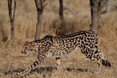 Birth of Rare Cubs, Carriers of King Cheetah Gene, Captured on Video
