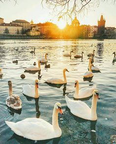 Prague Czech Republic... Photo from @vetrana! Do you know that swans have only one partner for their whole life? If their partner dies they could pass away from broken heart! Check the tagged profiles to discover amazing destinations around the world!