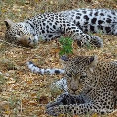 Another leopard picture    #leopard #leopards #raubkatze #moremi #moremigamereserve #botswanawildlife #safari #earthofficial #africaninspired #animalfanatics #iloveanimals #awasome #fiftyshades_of_nature #cuteanimals #botswana #beautifulcreatures #mypictures #travelgram #intothewild #fotofanatics_nature_ #travelblogger #reiseblogger_de #collectmoments #ig_naturepictures #africa #wildlife #wildlifephotography #specialmoments