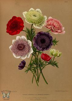 Windflowers. Album van Eeden. Harlem's Flora, door A.C. Van Eeden & Co. (1872)