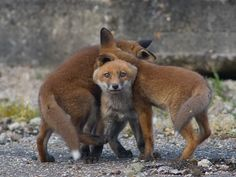 Red Fox Cubs by Jens Stahl on 500px