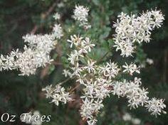 Bursaria spinosa - Australian Native