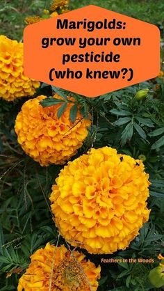 How to grow Marigolds and make your own bug spray