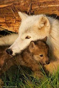 Mama wolf loves and protects her babies.