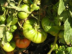 Fresh organic tomatoes from farm to table