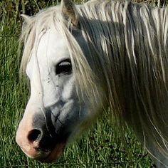 Goldmane Enterprise Welsh Mountain Pony