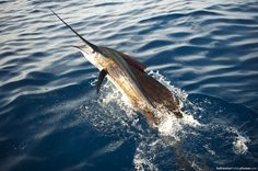 sport fishing photos - sailfish breaks water