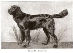 German Longhaired Pointer, born 1890.